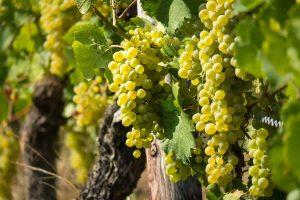 Cele mai apreciate soiuri de struguri pentru vin alb